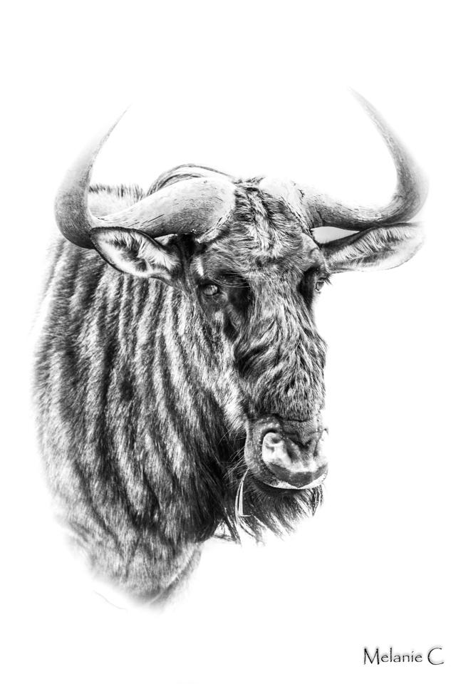 High Key Wildebeest