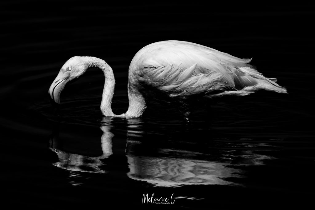 Greater Flamingo in Black and White