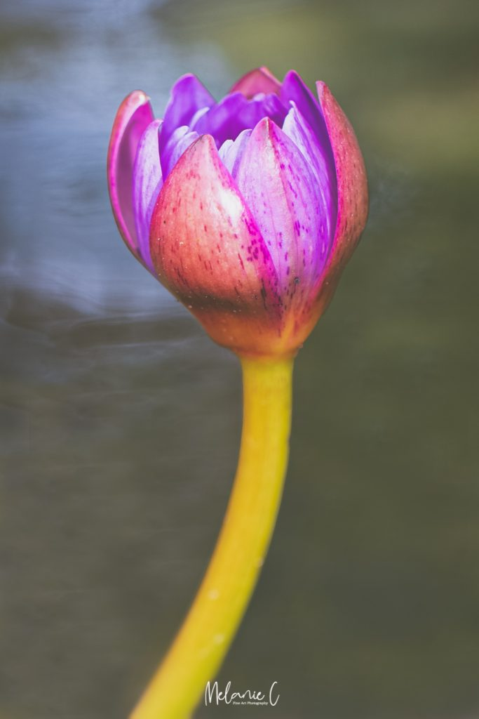 Waterlily plant photo