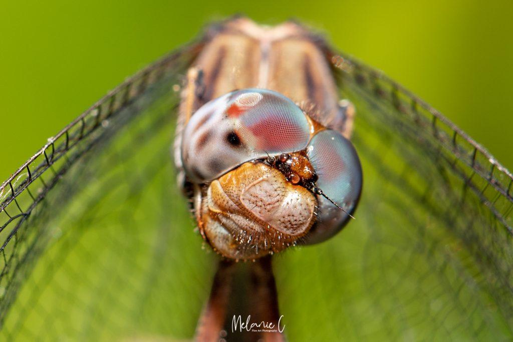 Dragonfly Macro Photo