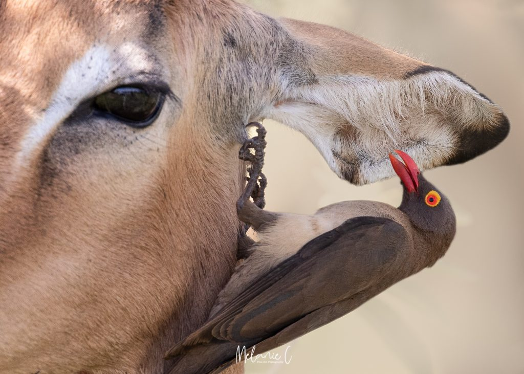 Antelope with Oxpecker