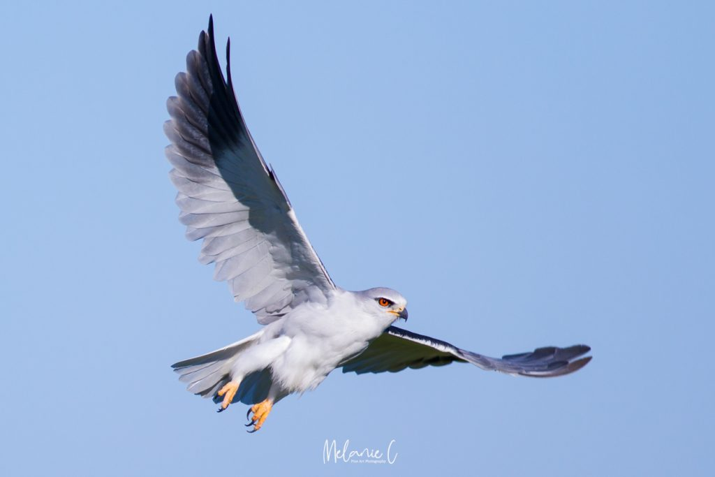 Black Winged Kite in Flight