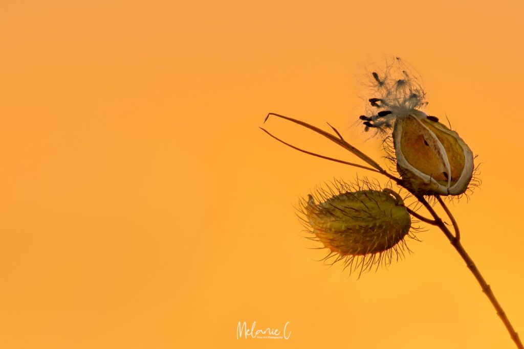 Seedpod in the sunset
