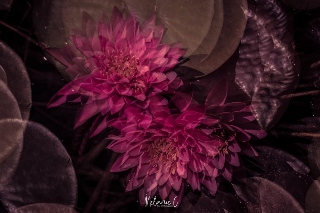 Multiple Exposure Water Lilly