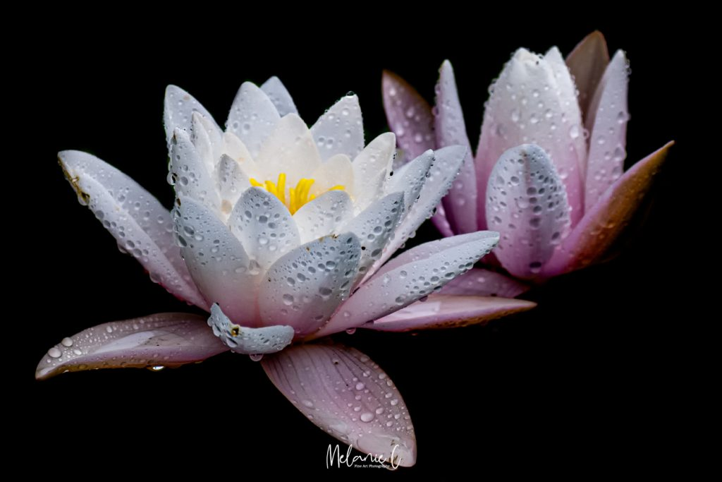 Waterlily image