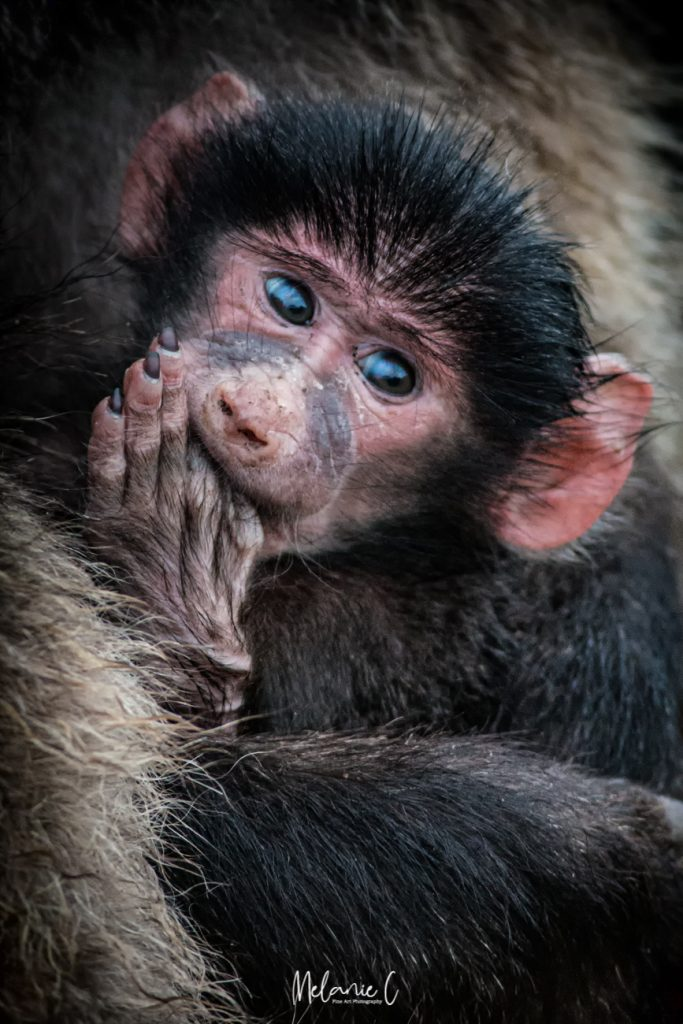 Chacma Baboon Baby