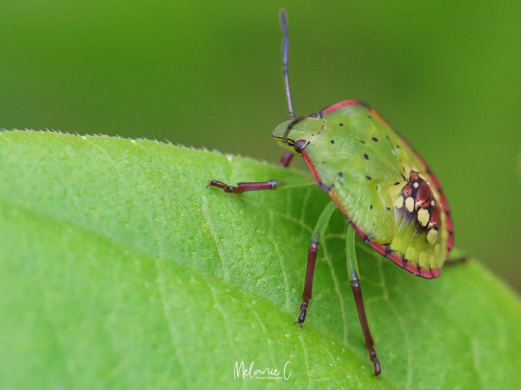 Stink Bug Macro Photography