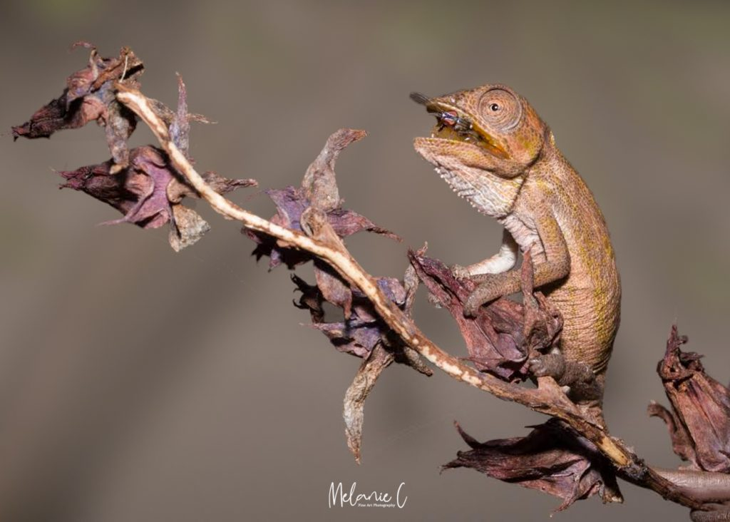 Chameleon with Lunch
