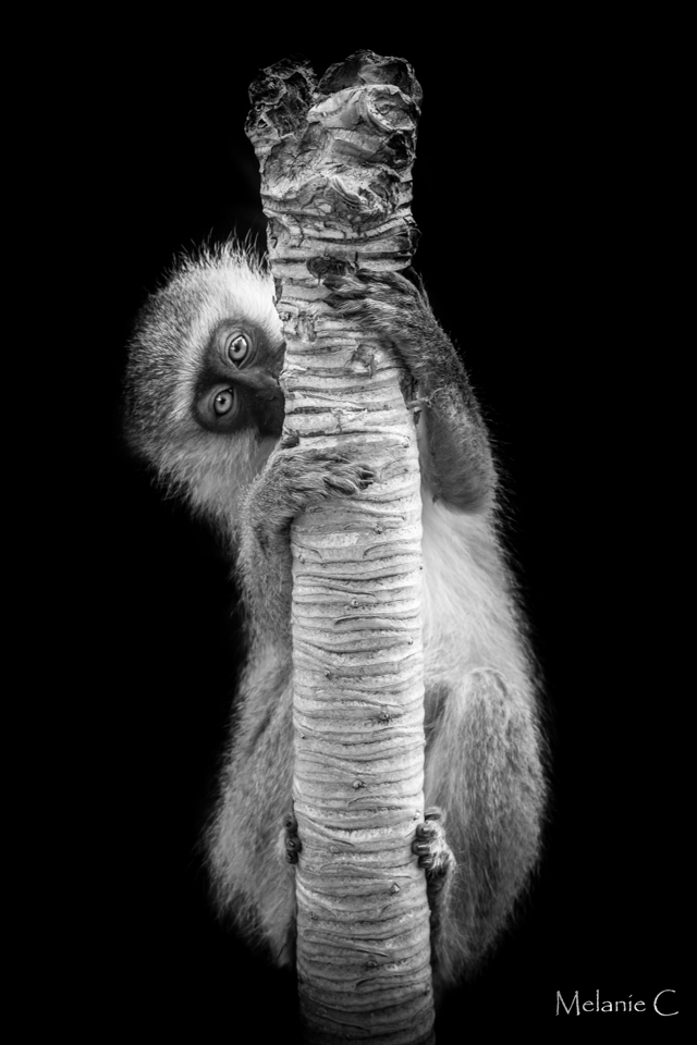 Vervet hanging monkey