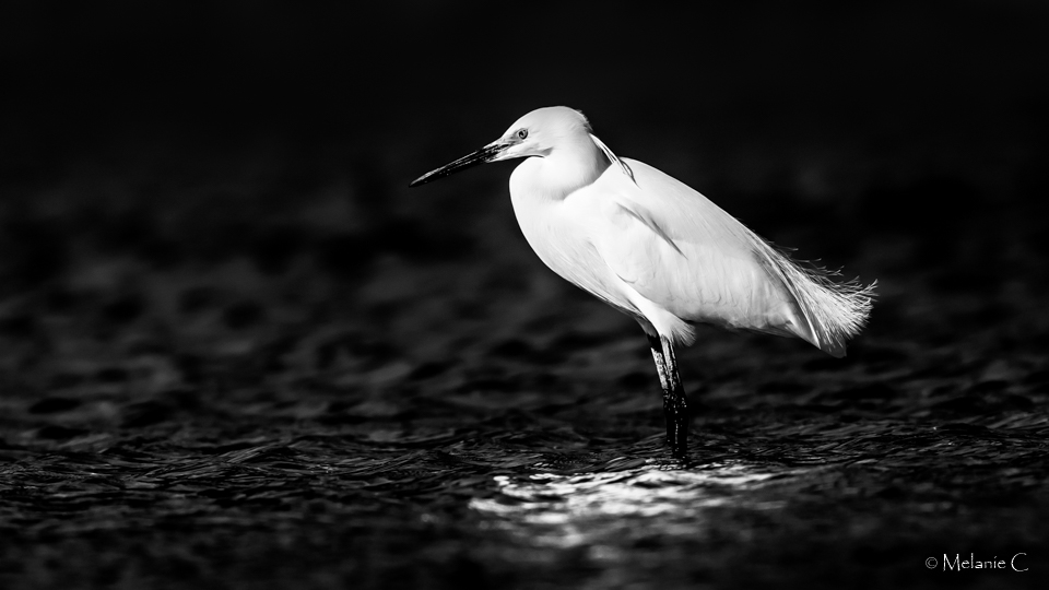 egret in the last rays
